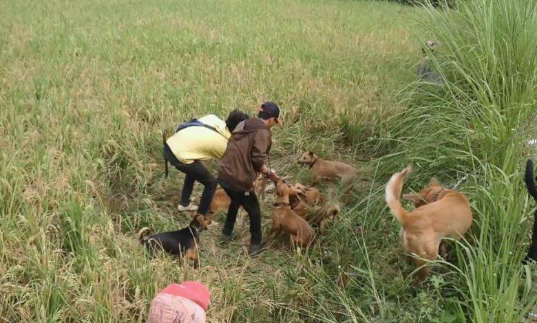 Komunitas Ajag Resing Banjaran Bandung Buru Babi di Cianjur